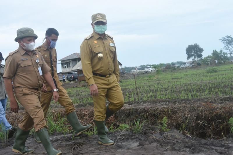 Gubernur Erzaldi Menugal Padi Bersama Masyarakat Desa Tuik