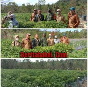 Babinsa Desa Sungai Padang Dampingi Kelompok Tani Cabe Berkah Mulia